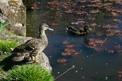 2 дикой утки на пруде Стоковые Изображения
