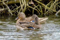 2 дикой утки плавая вдоль берега вдоль реки Стоковые Изображения