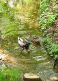 2 дикой утки плавая на воде Стоковая Фотография RF