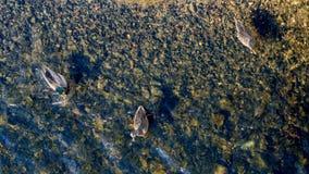 3 дикой утки плавая на отмелое озеро Стоковые Изображения RF