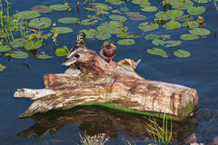 2 дикой утки сидя на тимберсе Стоковая Фотография RF