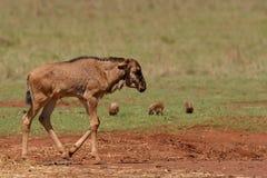 Икра 2 антилопы гну Стоковое Изображение