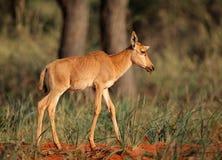 Икра антилопы Tsessebe Стоковые Фото