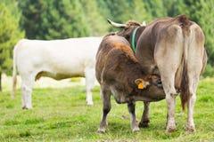 Икра Брайна подавая от коровы Стоковые Изображения