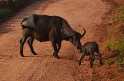 Икра буйвола с его матерью в диком в Кении, Африке стоковые фотографии rf