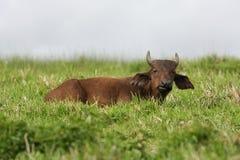 икра буйвола Стоковое Фото