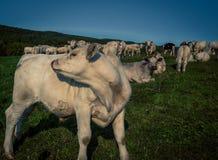 Икра быка Charolais Стоковое Изображение RF