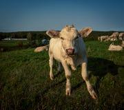 Икра быка Charolais Стоковое Фото