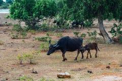 Икра всасывает молоко от мамы буйвола в саванне на sri lank Стоковое фото RF