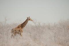 Икра в пыли, национальный парк жирафа Etosha, Намибия Стоковая Фотография RF