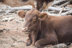 Икра говядины Стоковые Изображения