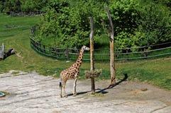 Икра жирафа стоя около пня дерева Стоковые Фотографии RF