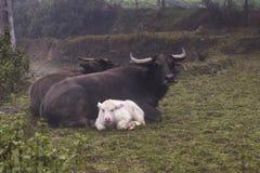 Икра индийского буйвола редкого альбиноса отечественная азиатская и свои родители Стоковые Изображения