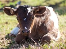 Икра молокозавода наслаждаясь солнечностью Стоковое Изображение