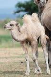 Икра младенца верблюда Стоковые Изображения