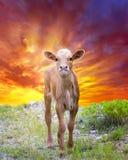 Икра лонгхорна вне пася на восходе солнца Стоковые Фото