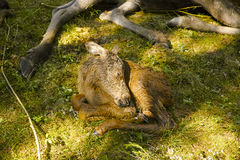 Икра лосей спать на yaksha Стоковое Изображение RF