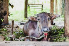 Икра отечественного азиатского буйвола, Gorkha Непала Стоковые Изображения