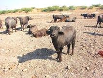 Икра отечественного азиатского индийского буйвола Стоковое Изображение RF