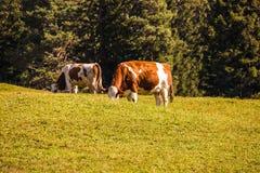 Икра пася на травянистом холме Стоковое Изображение RF