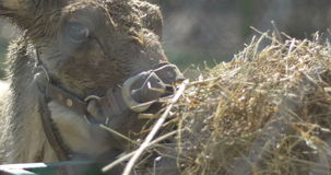 Икра северного оленя есть сено сток-видео