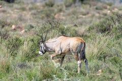 Икра сернобыка в национальном парке зебры горы Стоковые Фотографии RF