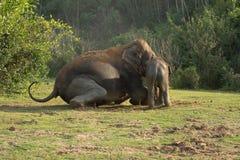 Икра слона Стоковая Фотография RF