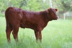 Икра телятины коровы детенышей пася в зеленом земледелии сельского хозяйства лета поля Стоковая Фотография RF