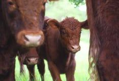 Икра телятины коровы детенышей пася в зеленом земледелии сельского хозяйства лета поля Стоковые Фотографии RF
