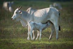 Икра ухода коровы Khillari в травянистом поле Стоковые Изображения