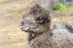 Икра Bactrian верблюда (bactrianus Camelus) Стоковые Фото