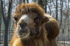 Икра Bactrian верблюда (bactrianus Camelus) Стоковые Изображения RF