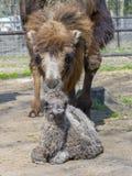 Икра Bactrian верблюда (bactrianus Camelus) Стоковая Фотография RF