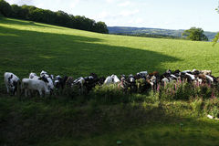 Икры говядины Стоковая Фотография RF