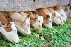 икры есть богачей корма зеленых Стоковое Фото