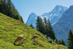 Икры на выгоне, murren, Швейцария Стоковая Фотография RF