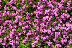 Иллюстративная предпосылка myosotis, завода flowerbed травы, обильно зацветая  стоковые изображения rf