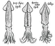 Иллюстрации вектора кальмара нарисованные рукой Чертежи морепродуктов Стоковое Изображение RF