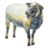 Иллюстрация акварели овец покрашенная рукой Стоковые Фото