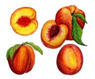 Иллюстрация акварели персика Нарисованная рукой картина акварели на белой предпосылке Стоковые Фото