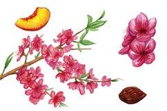 Иллюстрация акварели персика Нарисованная рукой картина акварели на белой предпосылке Стоковые Изображения RF