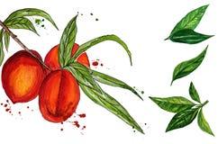 Иллюстрация акварели персика Нарисованная рукой картина акварели на белой предпосылке Стоковая Фотография RF