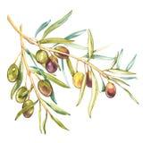 Иллюстрация акварели реалистическая ветви черных и зеленых оливок изолированной на белой предпосылке Дизайн для оливкового масла иллюстрация штока
