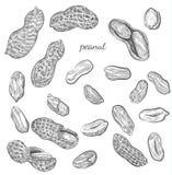 Иллюстрация арахиса нарисованная рукой иллюстрация штока