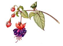 Иллюстрация ботанической акварели графическая fuchsia цветка с бутонами Стоковое Изображение
