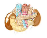 иллюстрация брюшка анатомическая Стоковые Фото