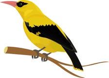Иллюстрация вектора птицы Oriolе изолированная на белизне Стоковые Фото