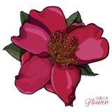 Иллюстрация вектора цветка камелии реалистическая Стоковое Изображение