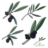 Иллюстрация вектора Sketched_olives_plants Стоковая Фотография