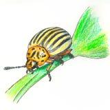 Иллюстрация жука картошки Колорадо Стоковое фото RF